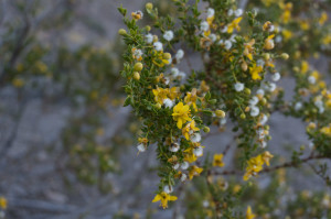 Creosote flowers